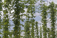 Hop. Field for brewing beer Stock Photography
