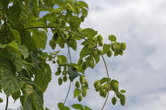 Hop. Field for brewing beer Royalty Free Stock Photos