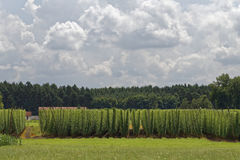 Hop. Field for brewing beer Royalty Free Stock Photography