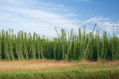 Hop field in Czech Republic. Before harvest Royalty Free Stock Images