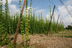 Hop field. Growing hops in a hop. Zatec - Czech Republic Royalty Free Stock Image