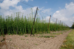 Hop field. Growing hops in a hop. Zatec - Czech Republic Stock Photography
