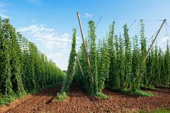 Hop Field Before Harvest. Royalty Free Stock Photos