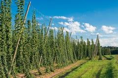 Hop field before the harvest , Czech Republic Stock Image