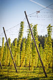 Hop Field In Autumn Stock Image