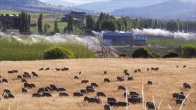 Hop fields and sheep stock footage