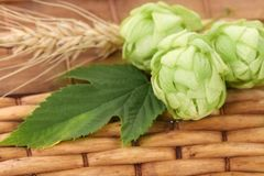 Hop flower on a basket. Stock Photography