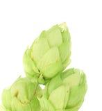 Hop flower green petals. Royalty Free Stock Photo