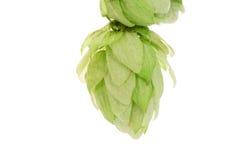Hop flower green petals. Stock Images
