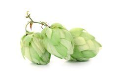 Hop flower green petals. Royalty Free Stock Photography