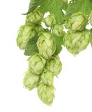 Hop floweron branch. Royalty Free Stock Photos