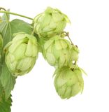 Hop floweron branch. Stock Photos