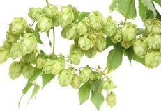 Hop floweron branch. Royalty Free Stock Photography