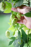 Hop flowers cones and hand. Stock Photography