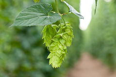 Hop garden Royalty Free Stock Image
