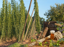 Hop garden with beer Royalty Free Stock Photo