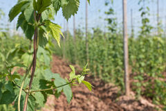 Hop garden Royalty Free Stock Photography