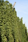 Hop Garden Royalty Free Stock Images