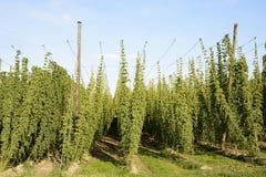 Hop Garden royalty free stock photos