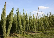 Hop Garden Royalty Free Stock Photos