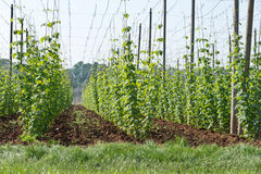 Hop garden in June Royalty Free Stock Image