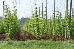 Hop garden in June Royalty Free Stock Image
