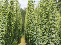 Hop-garden Royalty Free Stock Photography