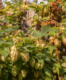 Hop   growing on the fence Royalty Free Stock Photography