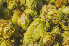 Hop harvest Royalty Free Stock Images