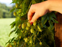 Hop harvest. Hand plugs hop blossom - field background Royalty Free Stock Photo