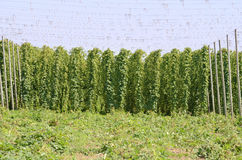 Hop Harvest Royalty Free Stock Photography