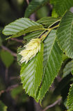 Hop Hornbeam (Ostrya carpinifolia). Foliage and papery fruiting structures of Hop Hornbeam (Ostrya carpinifolia Stock Photo