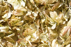 Hop Humulus Royalty Free Stock Images