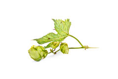 Hop or Humulus Stock Images