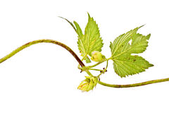 Hop or Humulus Royalty Free Stock Images