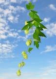 Hop (Humulus lupulus) Stock Photography