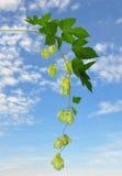 Hop (Humulus lupulus) Royalty Free Stock Images