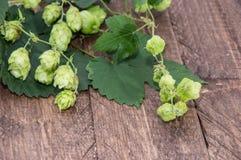 Hop (Humulus lupulus) Royalty Free Stock Photos