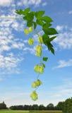 Hop (Humulus lupulus) Stock Images
