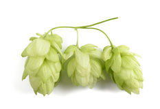 Hop  Humulus lupulus Stock Photo