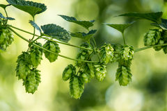 Hop (Humulus lupulus) Royalty Free Stock Photo