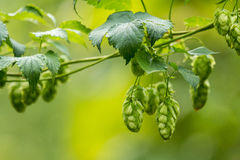 Hop Humulus lupulus Royalty Free Stock Photos