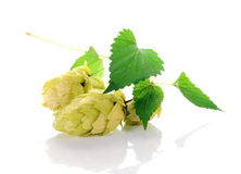 Hop ingredient for beer. Isolated on white background Stock Image