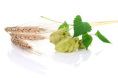 Hop ingredient for beer Stock Images