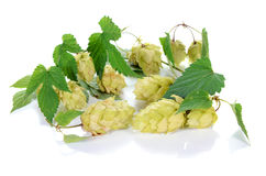 Hop ingredient for beer Stock Photo