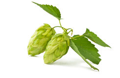 Hop isolated Stock Photo