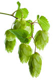Hop isolated on white background Royalty Free Stock Photography