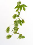 Hop isolated Stock Images