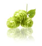 Hop isolated on white Royalty Free Stock Photography