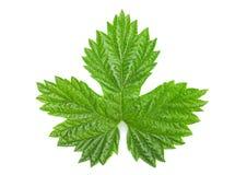 Hop leaf isolated Stock Photos